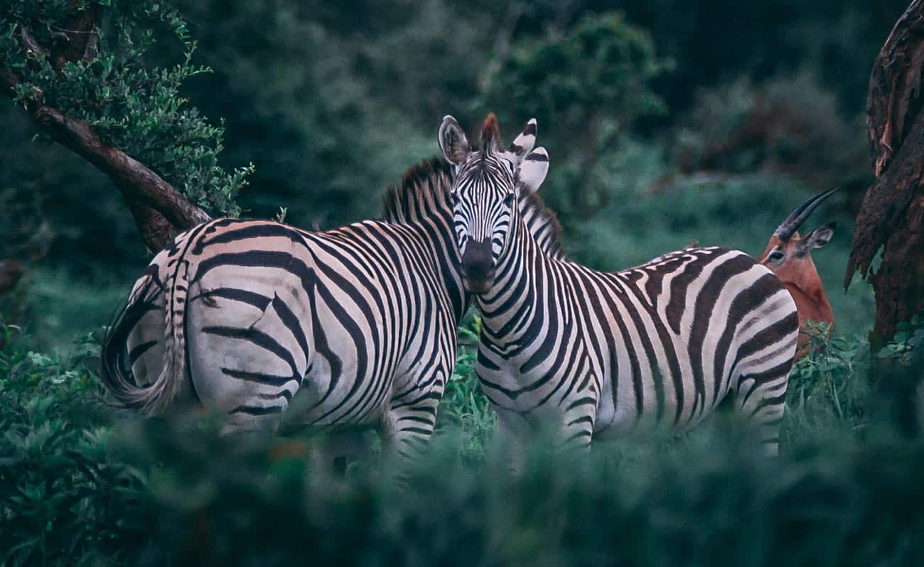 Two zebras in bush